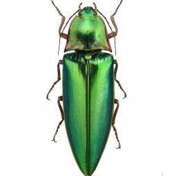 Liljebergs Campsosternus auratus