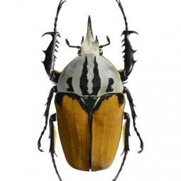 Liljebergs Meccynorrhina oberthuri